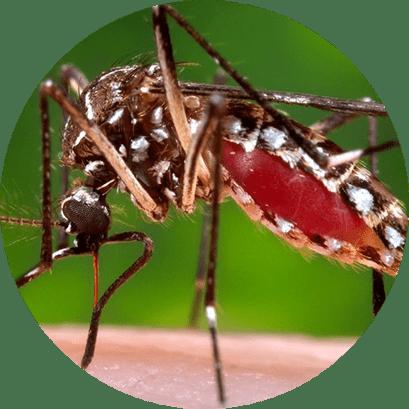 Mosquitos e Pernilongos - Dedetização de Mosquitos