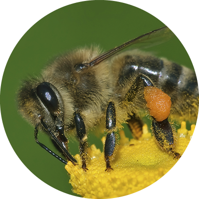 Abelhas, vespas e marimbondos