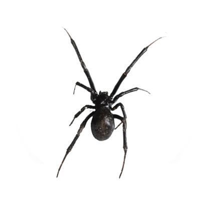 Aranhas - Dedetização e Controle de Aranhas