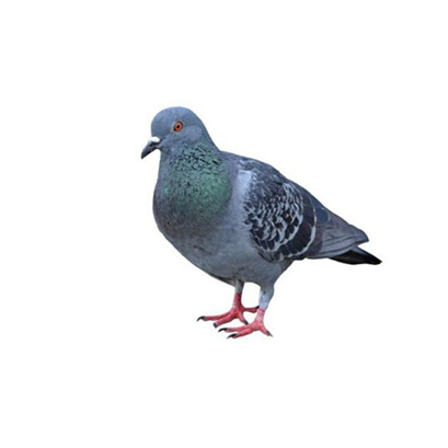 Estratégias para o manejo de pombos - Mato Grosso