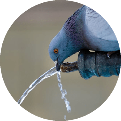 Manejo de Pombos em Mato Grosso