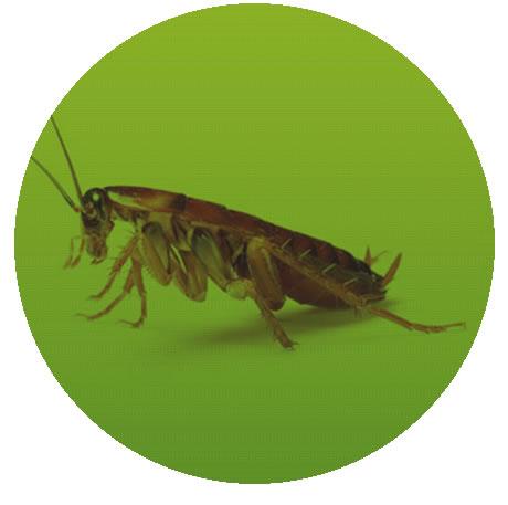 Dedetização de baratas em Cuiabá