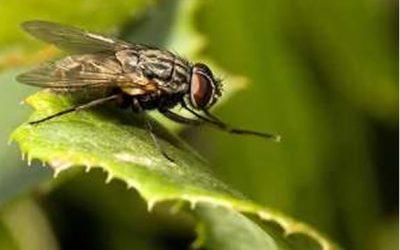 Controle de moscas: conheça os métodos efetivos