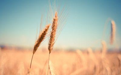 Controle de pragas de grãos: Como funciona?