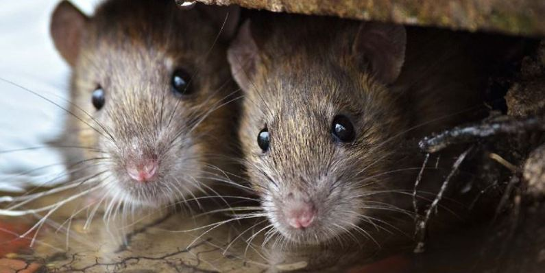Como uma Dedetizadora de Ratos pode Ajudar na Prevenção Dessas Pragas Urbanas? | Prestaserv