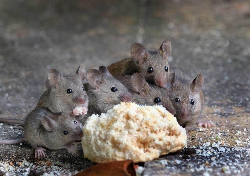 Dedetizadora de Ratos Qual É o Valor do Serviço | Prestaserv