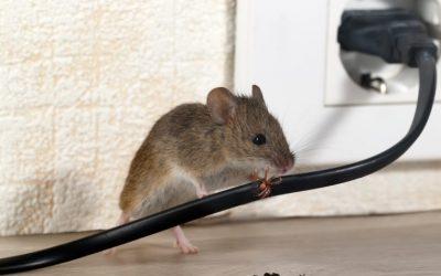 Dedetizadora de Ratos em Cuiabá: Contrate o Serviço!