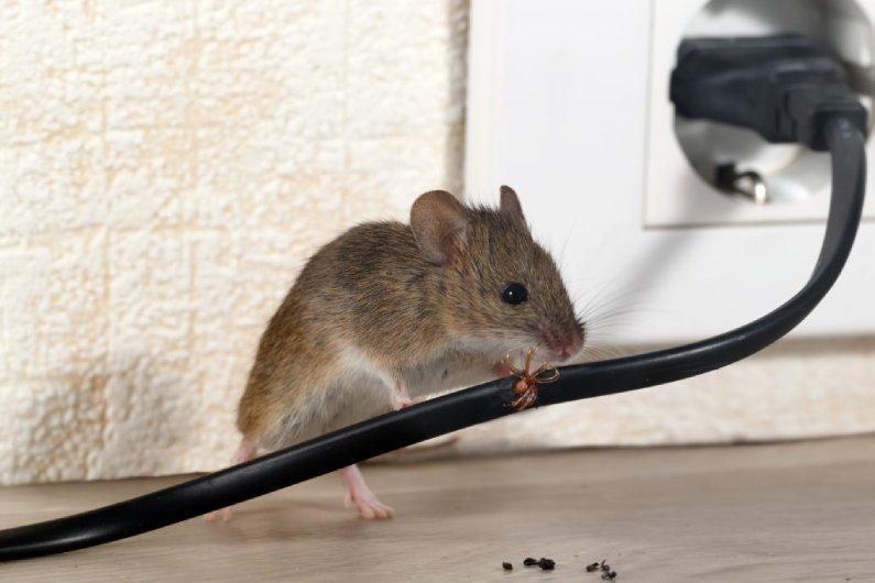 Dedetizadora de Ratos em Cuiabá Contrate o Serviço! | Prestaserv