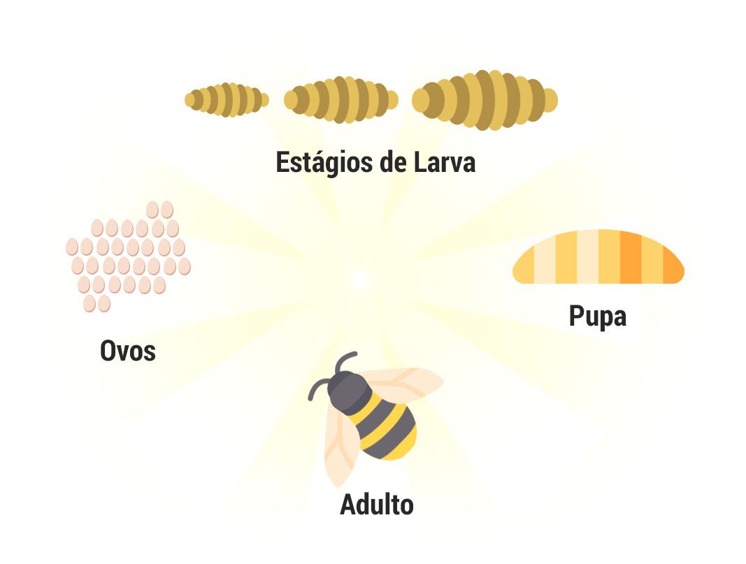 Ciclo de vida abelhas, vespas e marimbondos