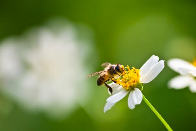Abelhas, vespas e marimbondos   Ciclo de Vida das Abelhas