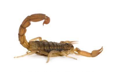 Dedetização de escorpiões: saiba como funciona o serviço!