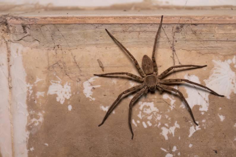 Dedetização de aranhas: principais espécies de pragas