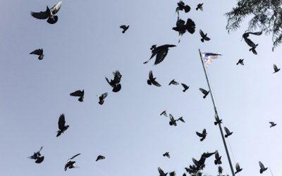 Dedetização de pombos: como funciona?