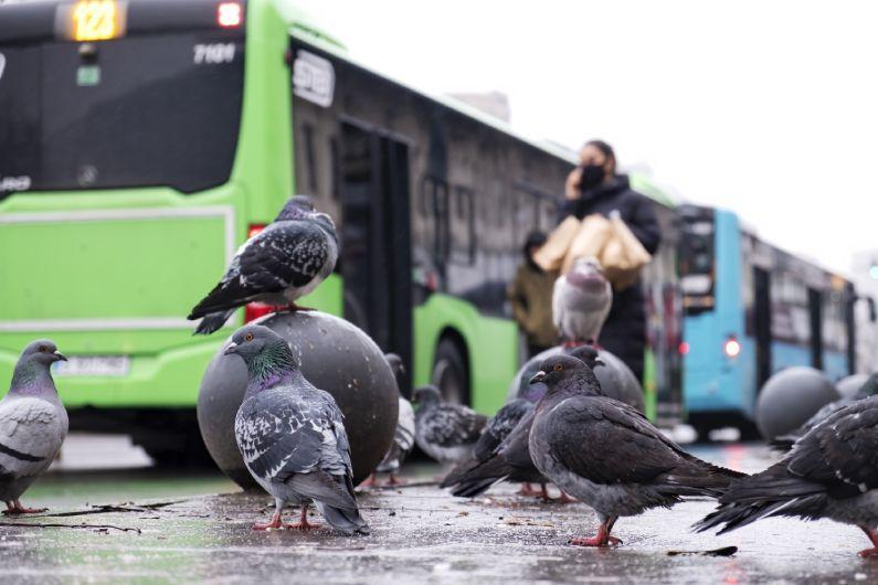 Dedetização de pombos: por que as aves são perigosas?