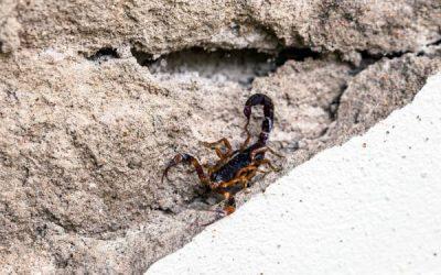 Dedetização de escorpiões: conheça o principal método de controle